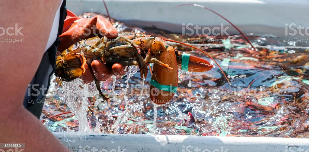 Live Lobster being sorted on a fishing boat stock photo