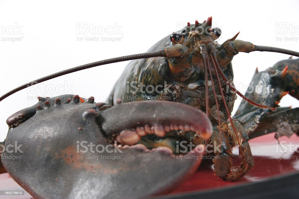 Live lobster royalty-free stock photo