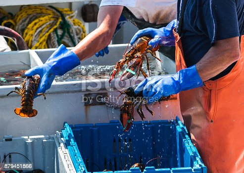 Maine lobsters being sorted into bins to be sold while still on the lobster fishing boat.