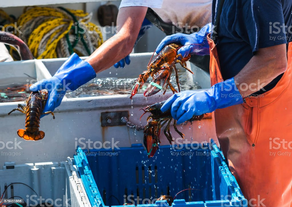 Live Maine Lobsters being sorted on a fishing boat stock photo