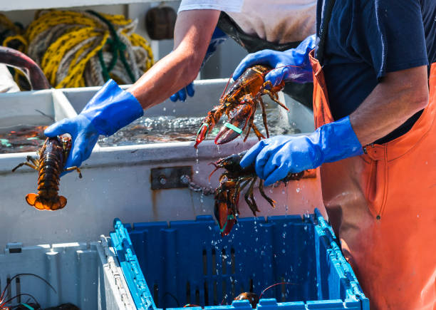 Live Maine Lobsters being sorted on a fishing boat Maine lobsters being sorted into bins to be sold while still on the lobster fishing boat. fisherman stock pictures, royalty-free photos & images