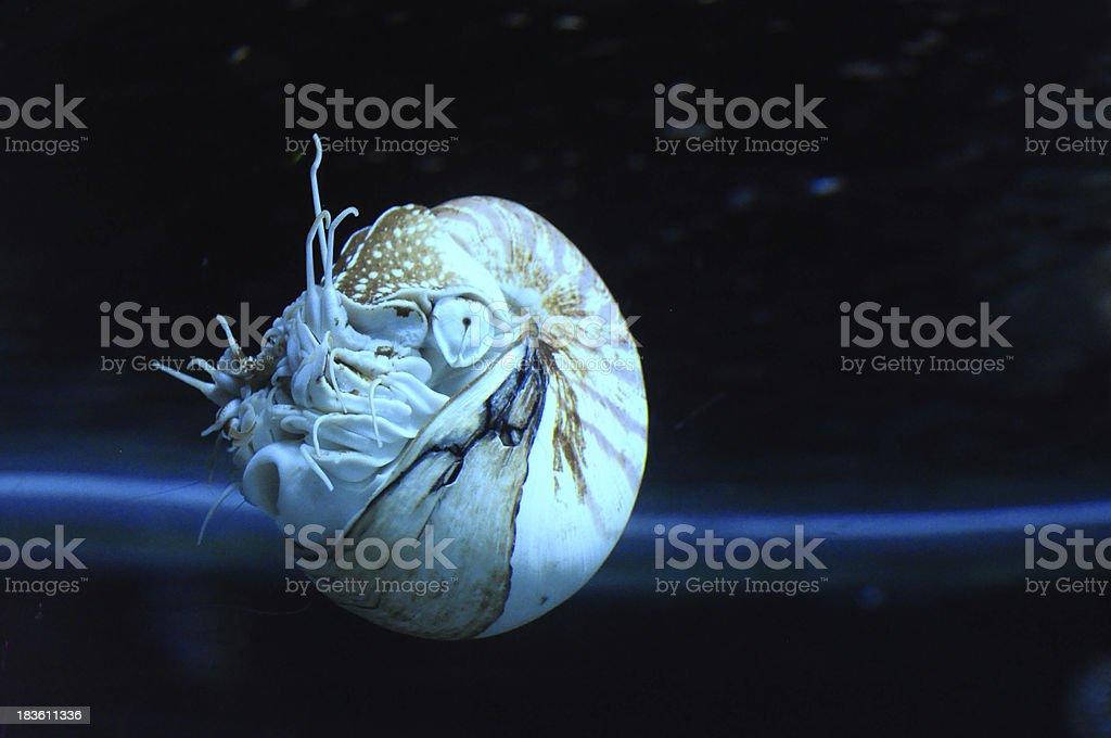 Live nautilus shell swimming stock photo