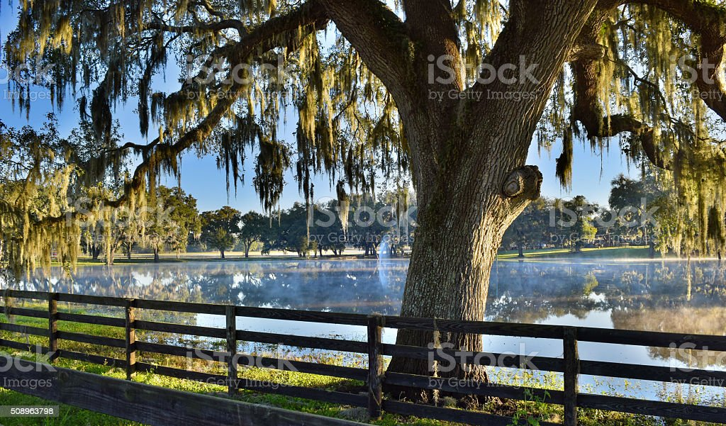 A live oak tree and spanish moss on the edge of a misty pond at dawn...