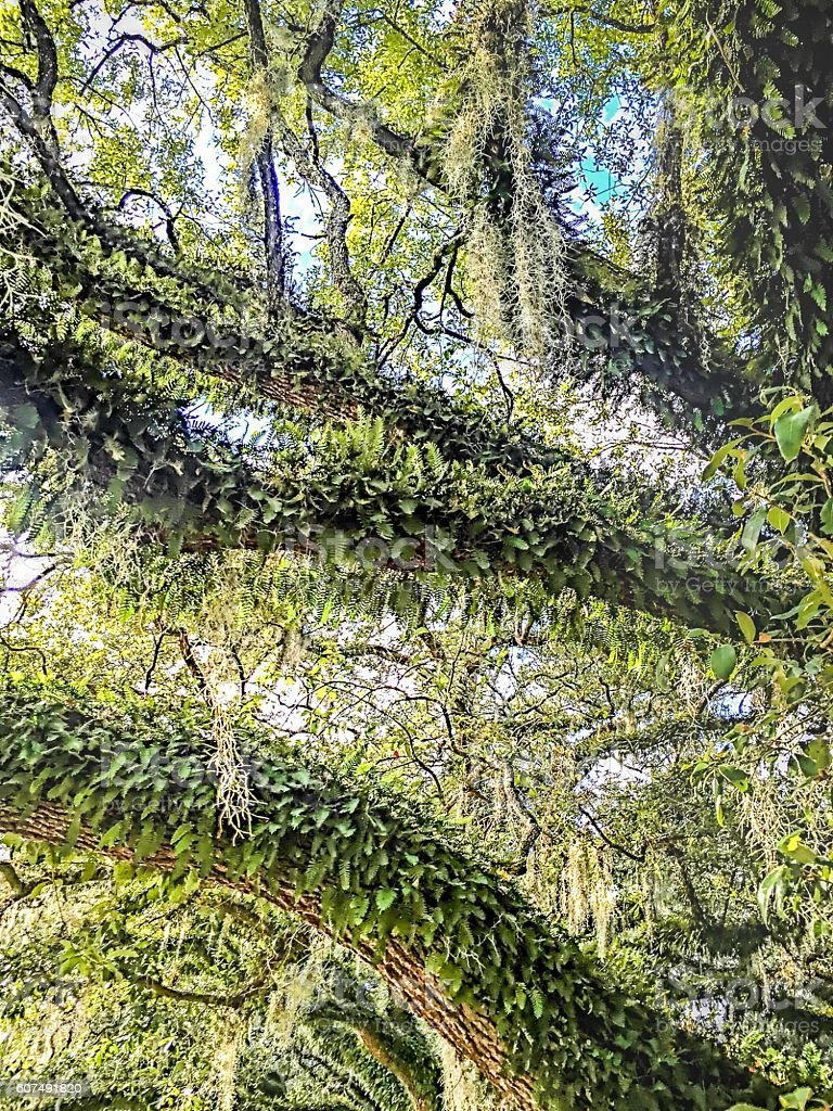 large tree with hanging moss