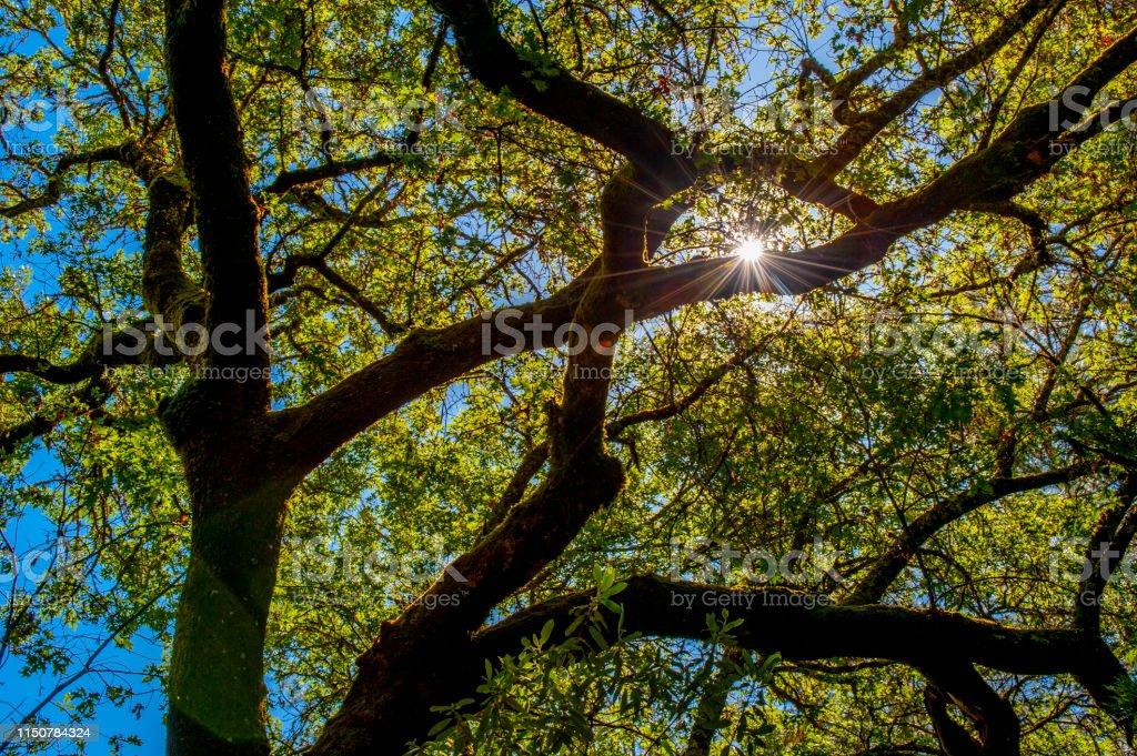 Oak tree and sunburst, Northern California.