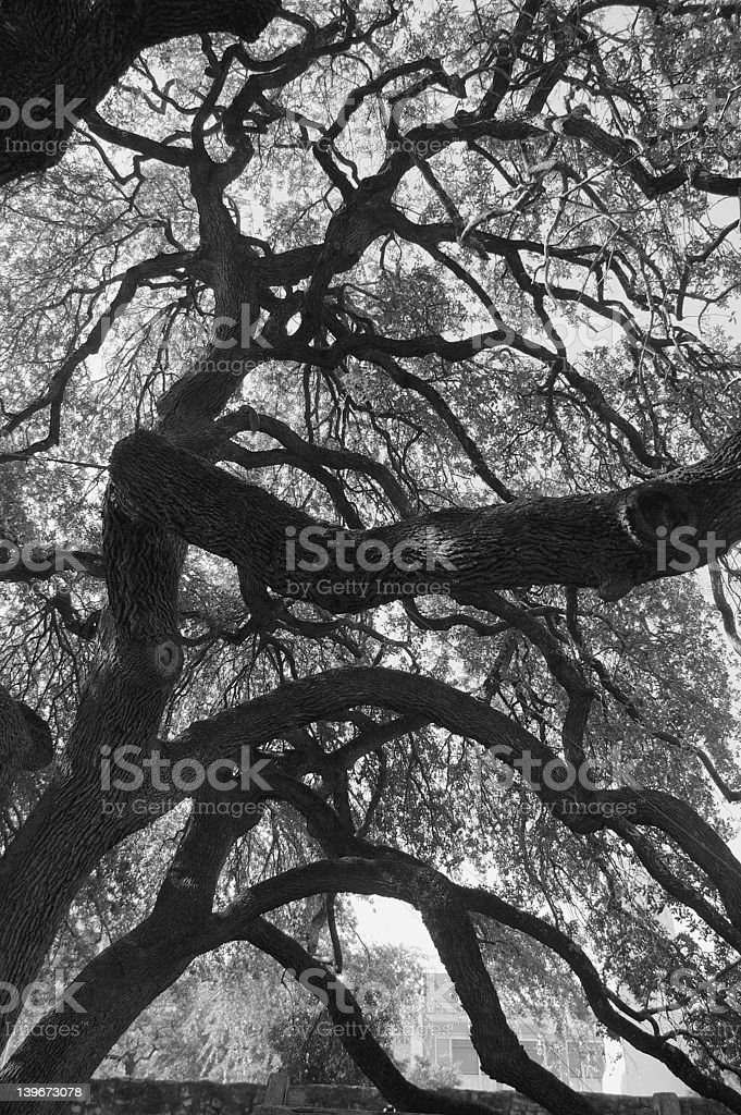 A large Live Oak on the grounds of the Alamo