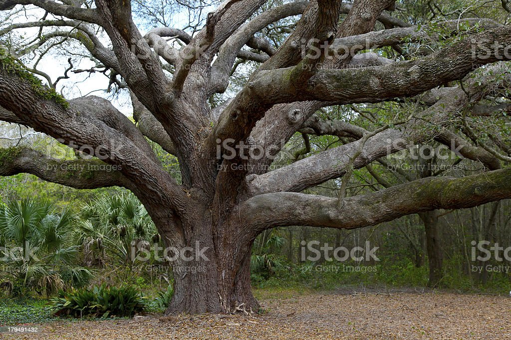 Live Oak Branches royalty-free stock photo