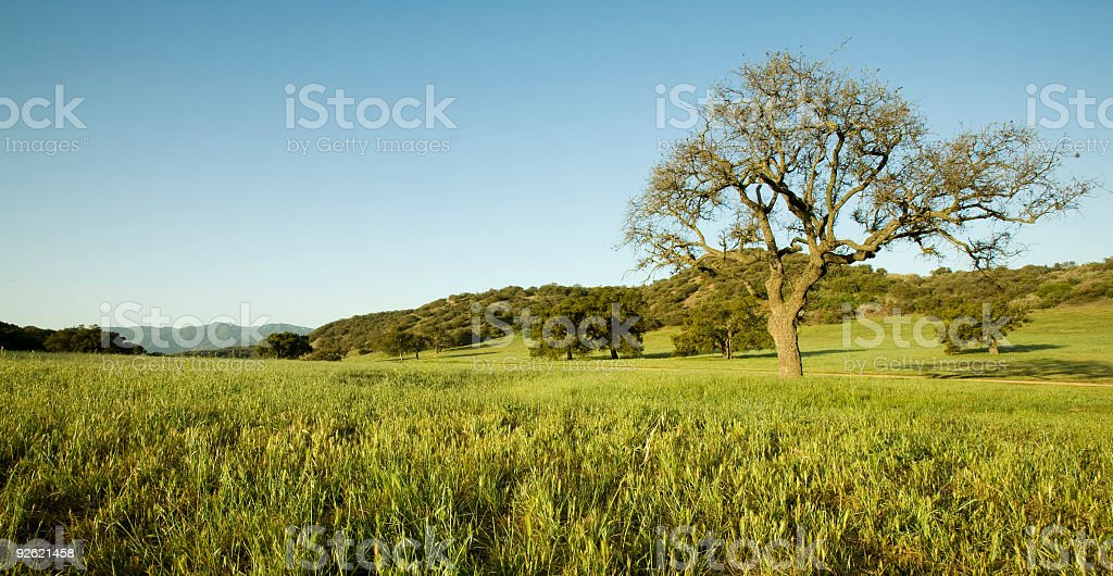 Live Oak Tree in Field royalty-free stock photo