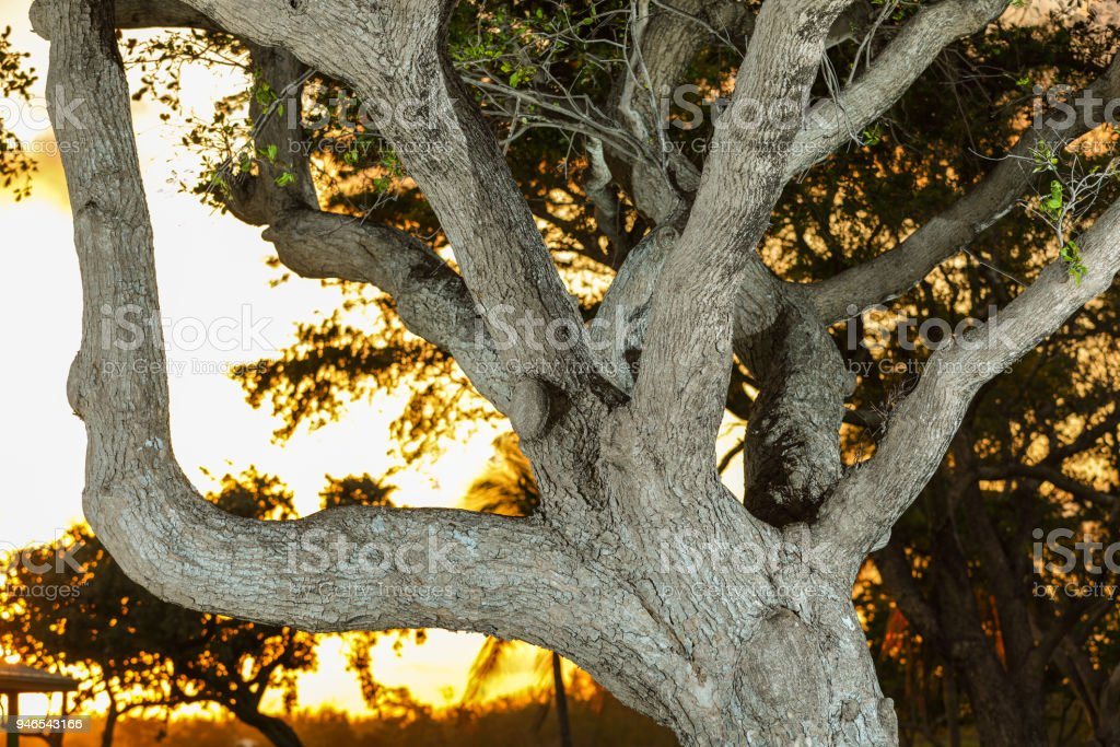 Image of a southern live oak tree lit with flash sunset in background