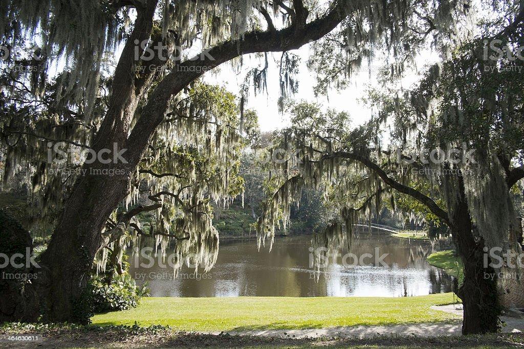 Live Oak Tree over hanging pond in South Carolina.
