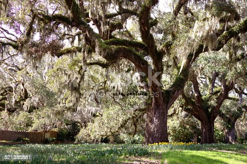 Live oak tree with daffodils blooming at the base.