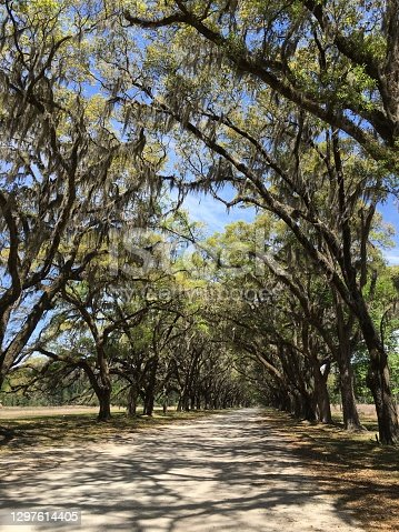 Live Oak Tree & Spanish Moss - Savannah Georgia