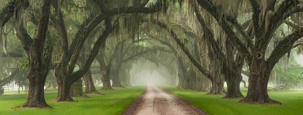 Live Oak Tree Tunnel Southern Plantation Entrance Charleston South Carolina This driveway, located outside of Charleston SC, is considered by many to be the most beautiful plantation driveway on the Eastern Seaboard. On this morning, the fog had rolled into the Lowcountry and in cooperation with the rising sun, provided the most beautiful, gentle light.  southern usa stock pictures, royalty-free photos & images