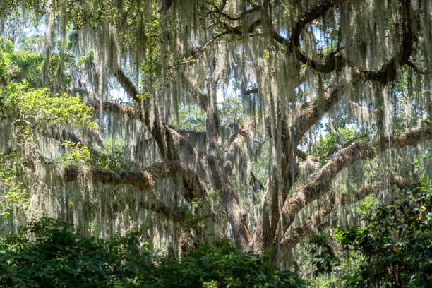Live Oak Tree with Spanish Moss Taken 2019 southern charm stock pictures, royalty-free photos & images