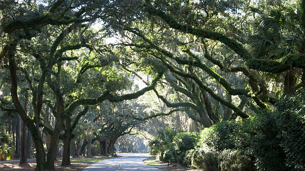 Live Oak Trees Canopy Hilton Head Island Road, South Carolina stock photo
