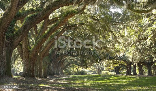 istock Live Oak trees forest 609929452