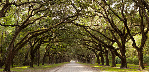 Live Oak Trees From Georgia, USA Road through Live Oak trees near Savannah, Georgia, USA. canopy stock pictures, royalty-free photos & images