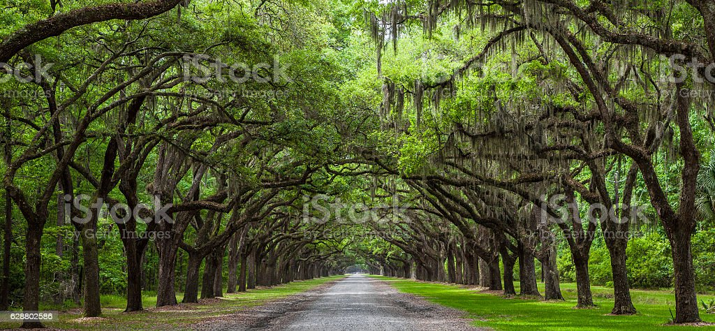 Live Oak Trees stock photo