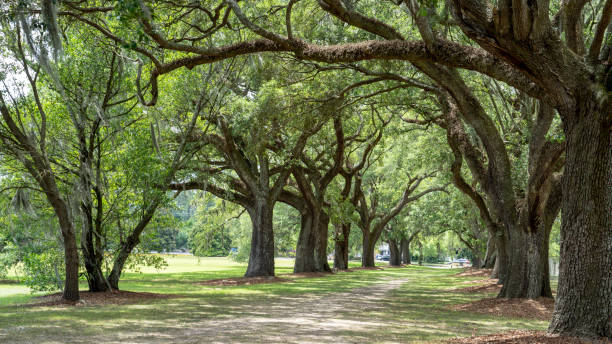 Live Oak Trees Spanish Moss Path Taken 2019 southern charm stock pictures, royalty-free photos & images