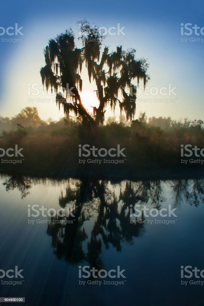 Live oak with Spanish Moss in morning stock photo