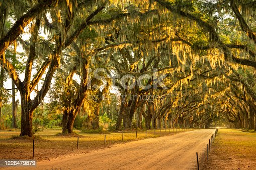 istock Live oaks and Spanish moss along a dirt road 1226479879