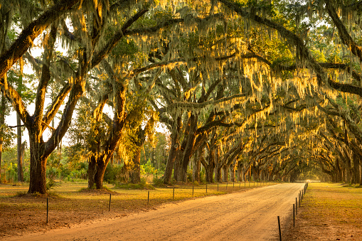 Live oaks on a country dirt road along a farm plantation in USA