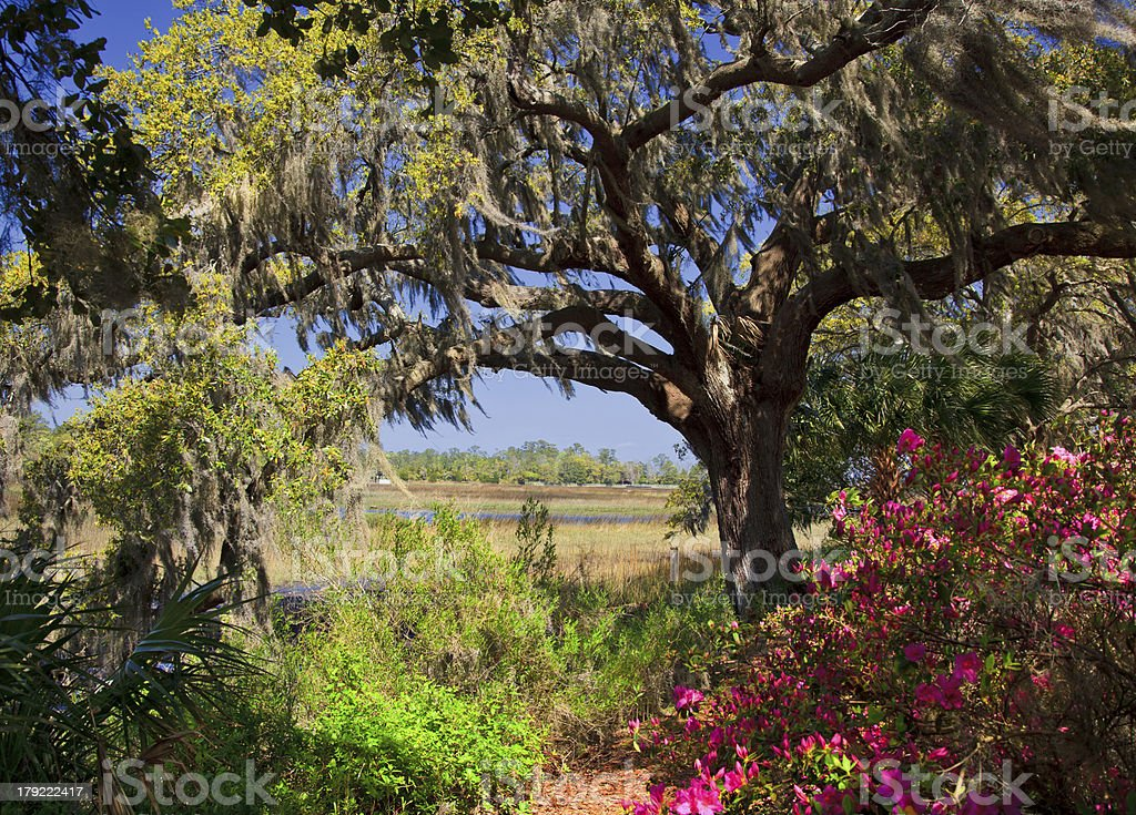 Live Oaks in Charleston, SC royalty-free stock photo