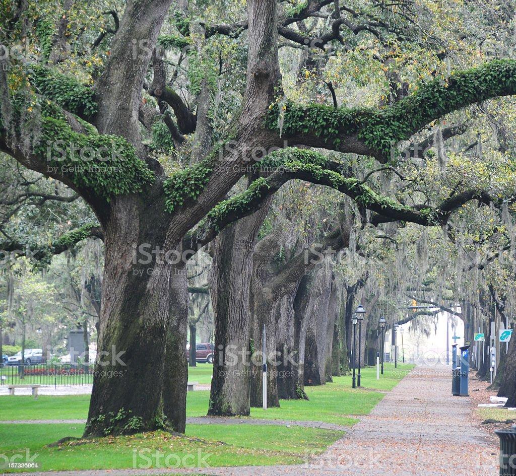 Live Oaks in Savannah royalty-free stock photo