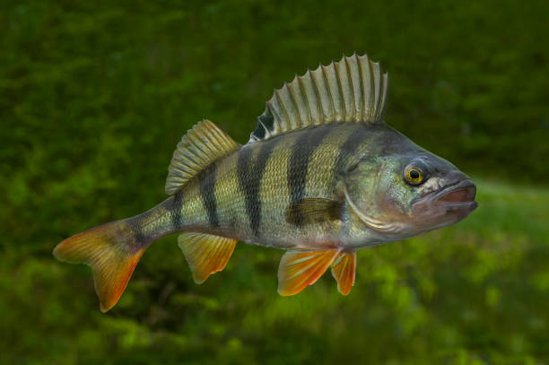 Live perch fish isolated on natural green background Live perch fish isolated on natural green background perch fish stock pictures, royalty-free photos & images