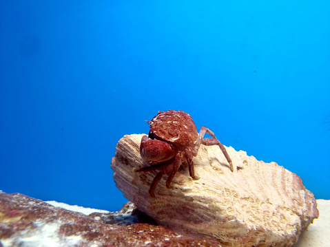 live red ocean crab under sea,ocean on blue background