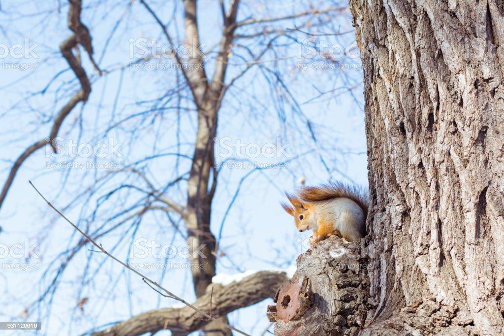Canlı sincap bir kış ormandaki bir ağaç dalı oturur - Royalty-free Ahşap Stok görsel