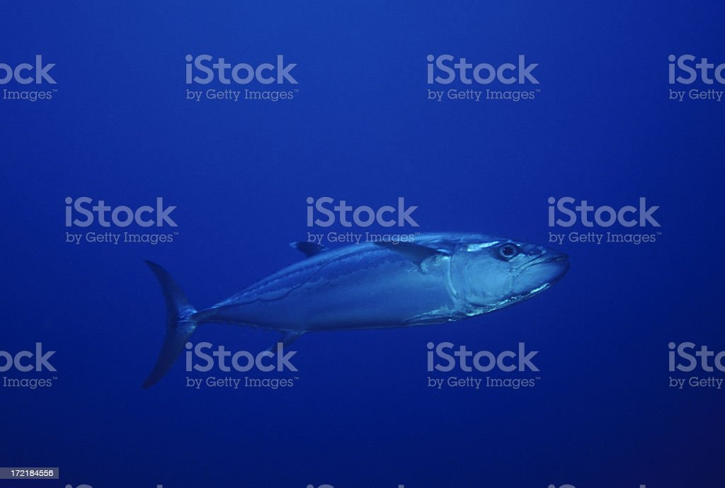 Live Tuna in Open Ocean royalty-free stock photo