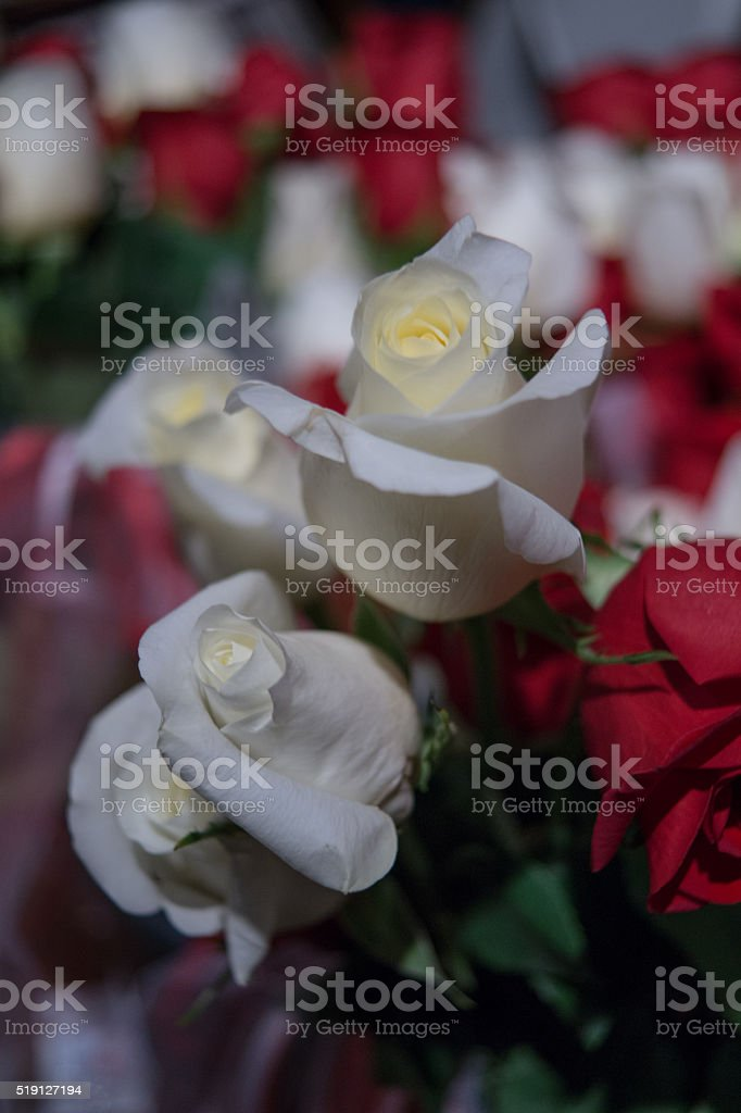 live white and red rose bud flowers royalty-free stock photo