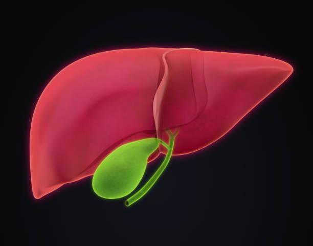 fígado e vesícula biliar anatomia - vesicula biliar - fotografias e filmes do acervo