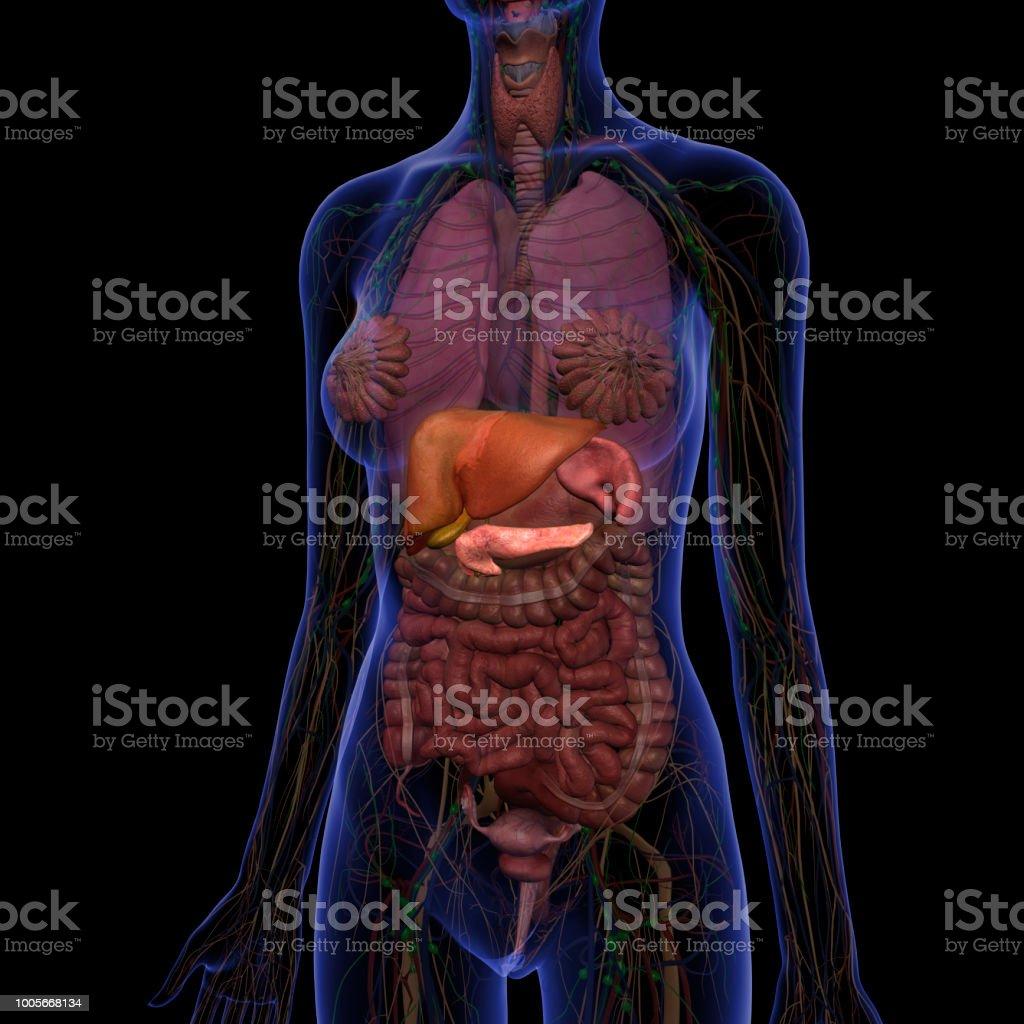 Liver, Gallbladder, Pancreas and Spleen in Abdomen Internal Anatomy stock photo