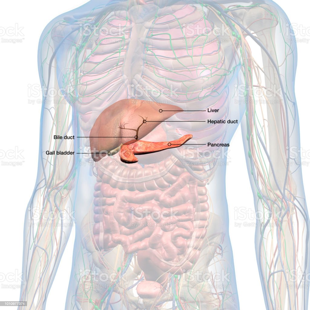 Lower Abdominal Diagram Male