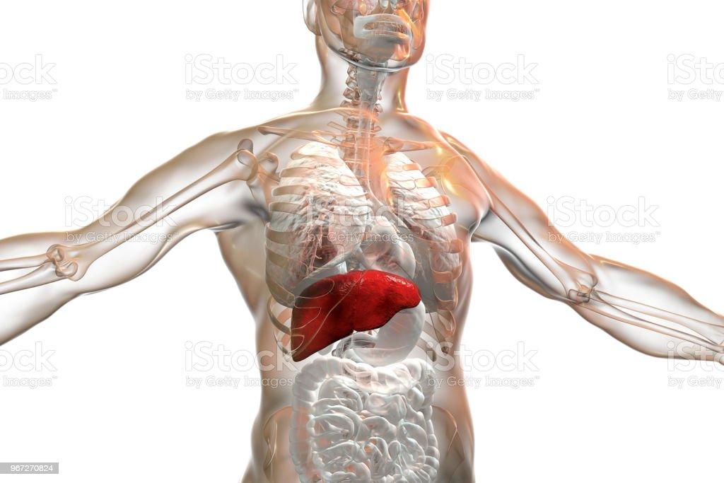 Foto De Figado De Destaque Dentro Do Corpo Humano E Mais Fotos De Stock De Adulto Istock