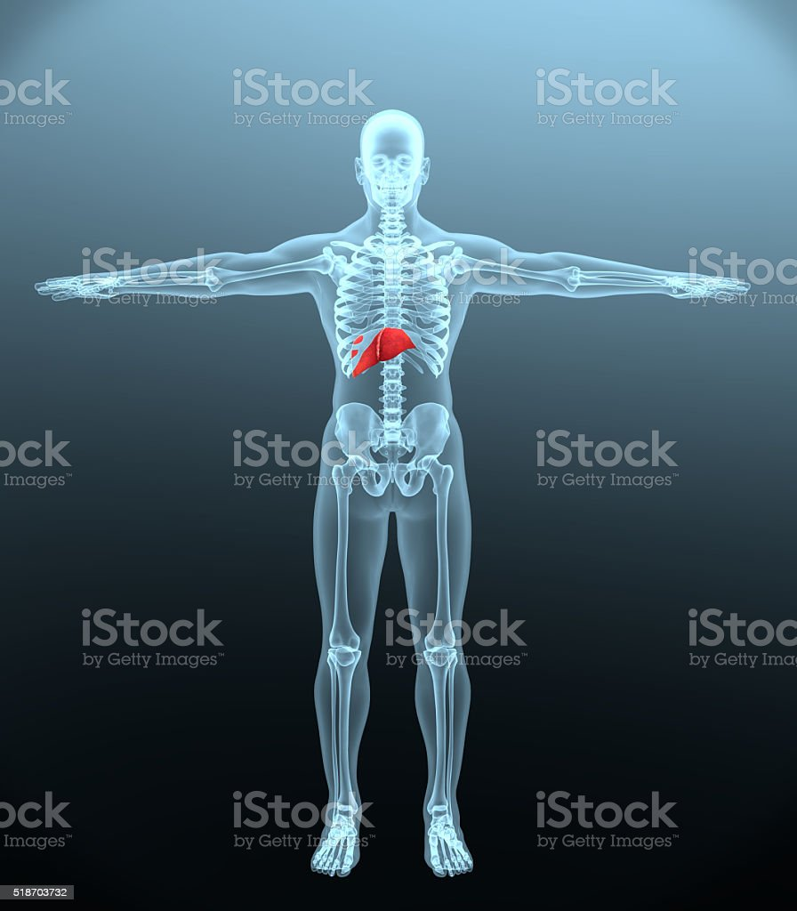 liver in a human stock photo