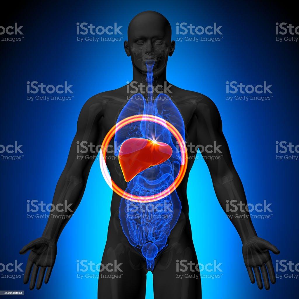 Fotografía de Hígado Hombre Anatomía De órganos Humanosvista De ...