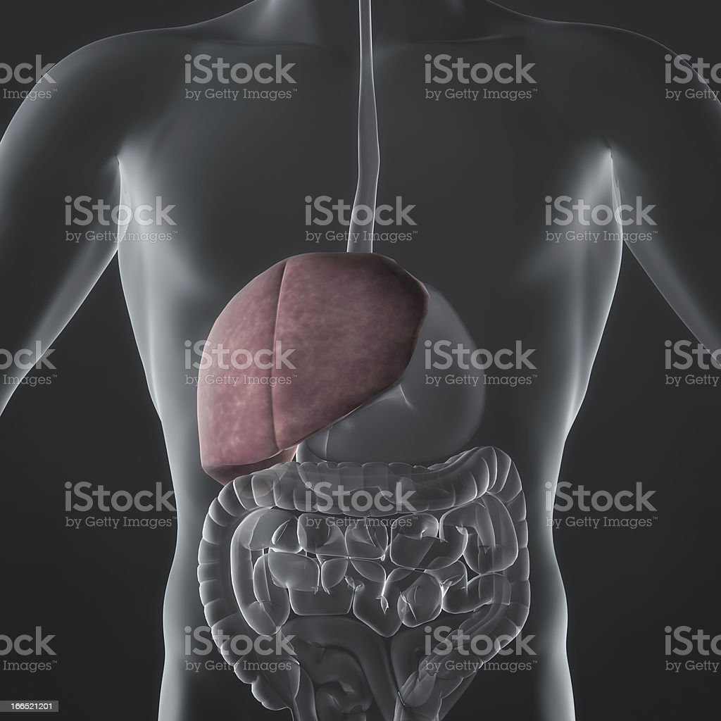 Liver royalty-free stock photo