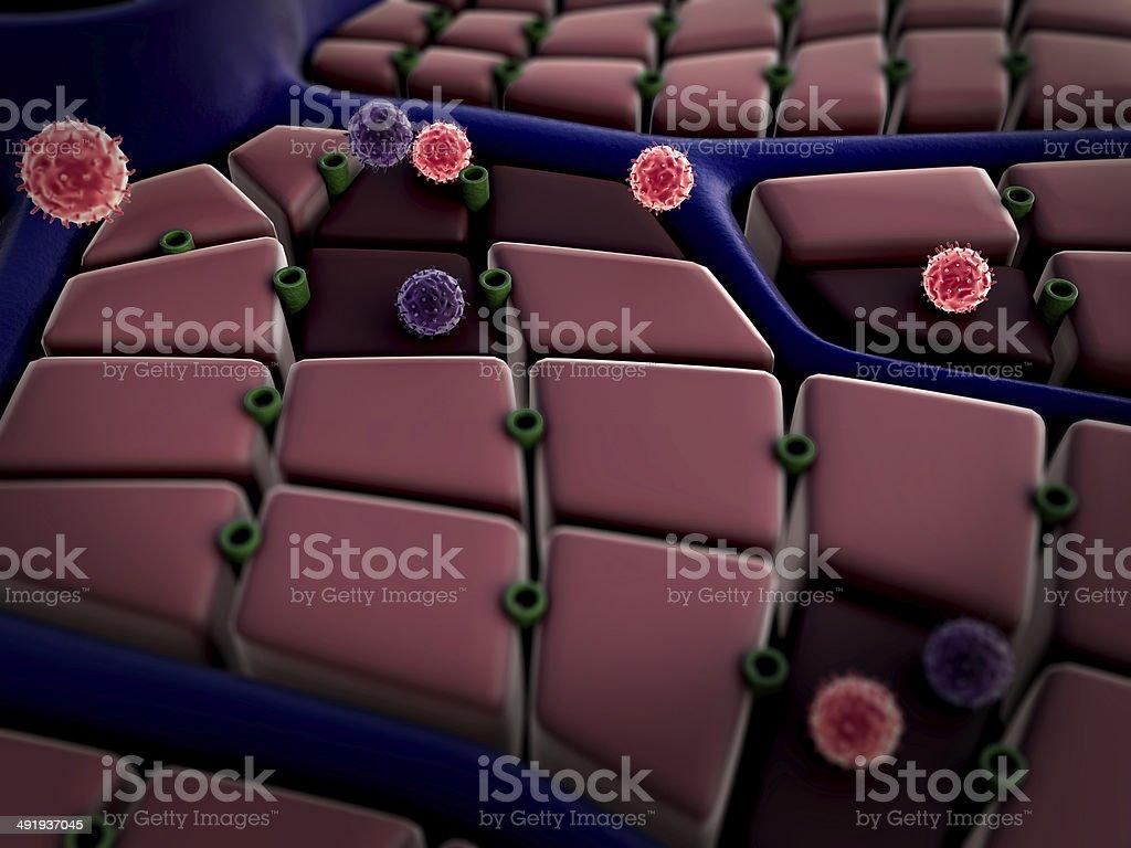 liver, virus stock photo