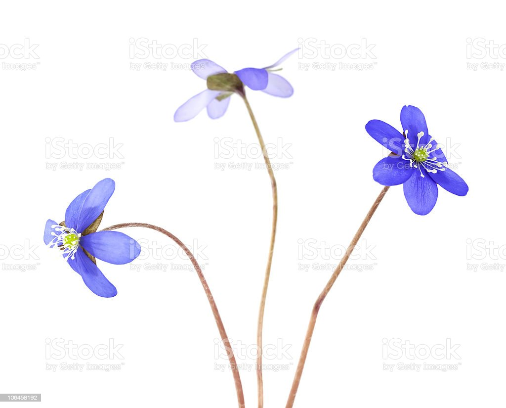 Liverleafs isolated on white background. royalty-free stock photo