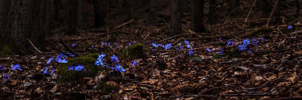 Leberblümchen Blume – Foto