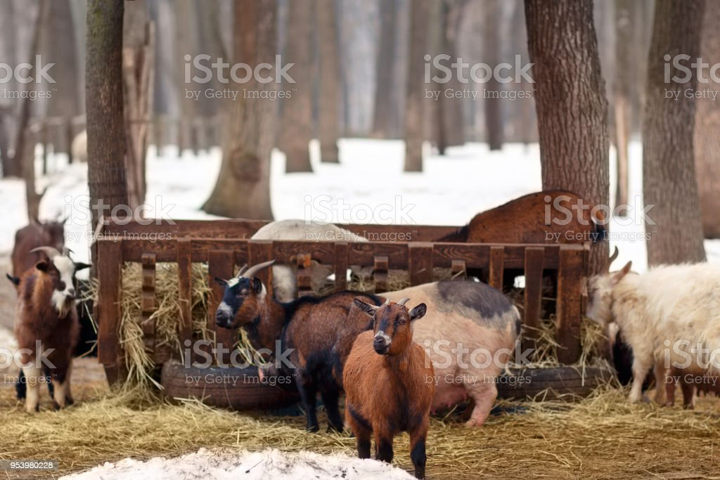 Livestock at winter farm. Farm animals eating hay from the manger....
