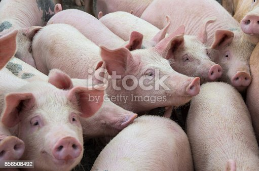 istock Livestock breeding. The farm pigs. 856508492