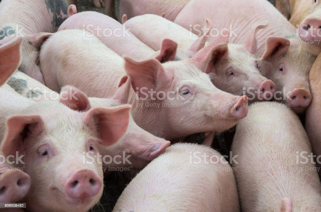 Livestock breeding. The farm pigs. stock photo