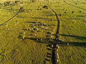 Livestock, cattle ranch Nelore Brazil.