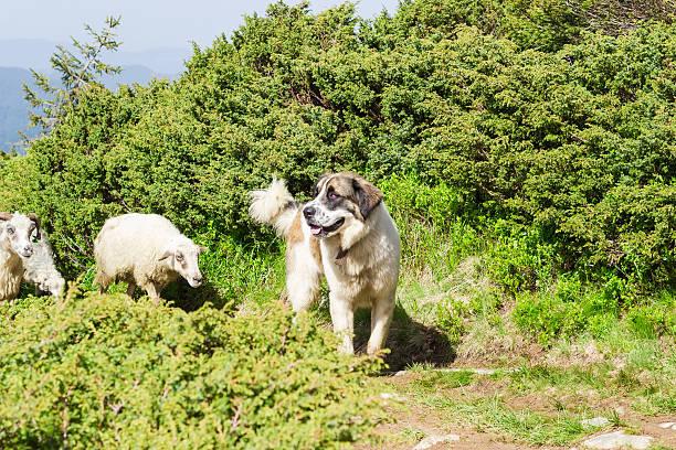 livestock guardian dog in carpathian mountains - 카르파티아 산맥 뉴스 사진 이미지