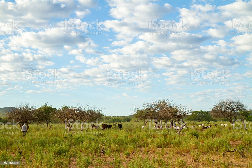 Livestock In Namibian Pasture stock photo