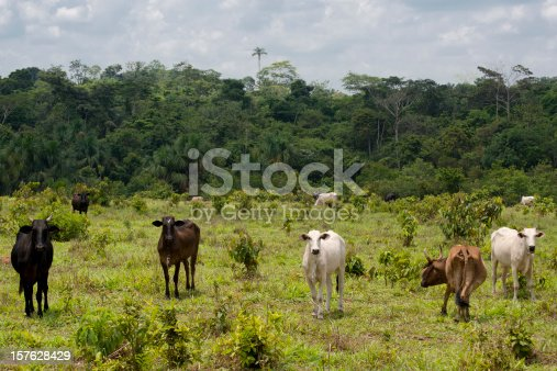Cattle ranching in the Amazon. It is still possible to see an Amazon forest fragment in the back.